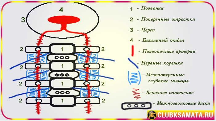 Особенности строения шейного отдела позвоночника